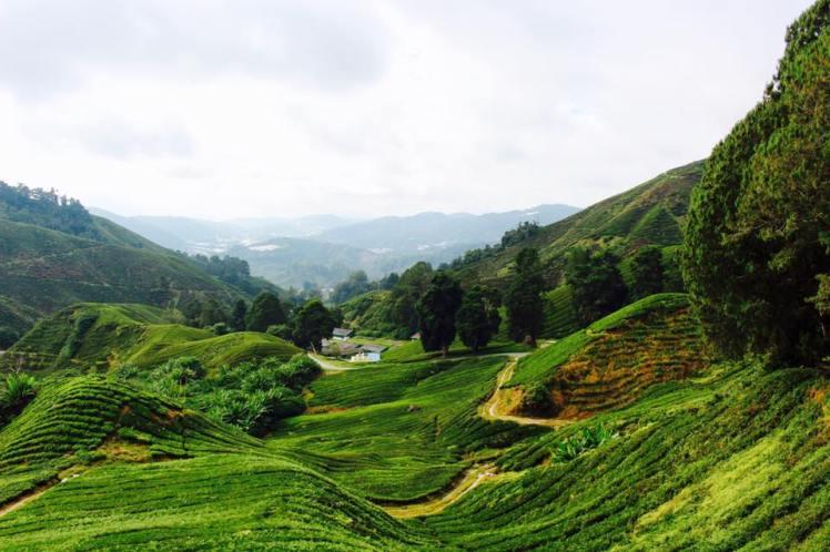 Plantation de thé BOH, Cameron Highlands, Malaisie