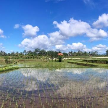 Ubud et ses champs de riz